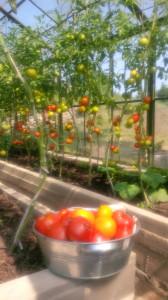 Tomates- Urbano