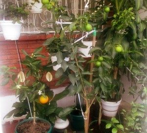Naranja de Patio