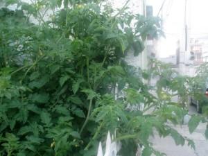tomates en la calle